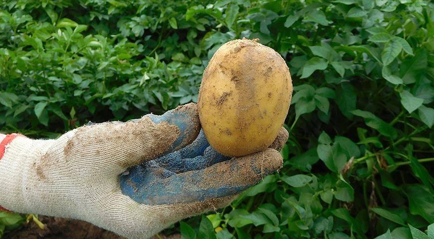 Картофель сорта Джура (Isle Of Jura): отзывы и описание