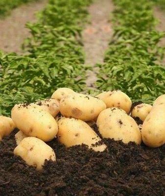 Картофель колетте: описание сорта, особенности ухода