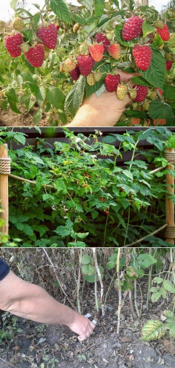 Черная малина: описание, сорта, фото, правила выращивания, отзывы