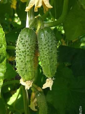 Пчелоопыляемые и партенокарпические огурцы ─ в чём разница