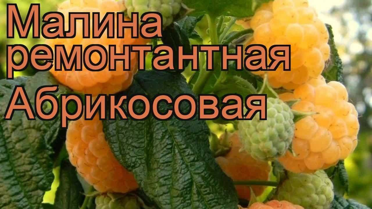 Описание сорта абрикосовая малина