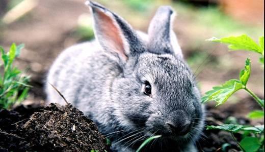 Основные болячки в кроличьих ушах и методы их лечения