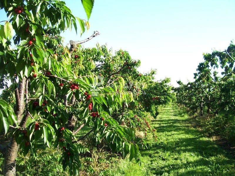Достоинства выращивания поздней мичуринской вишни