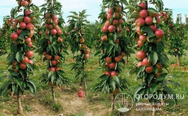 Колоновидная яблоня президент — особенности сорта
