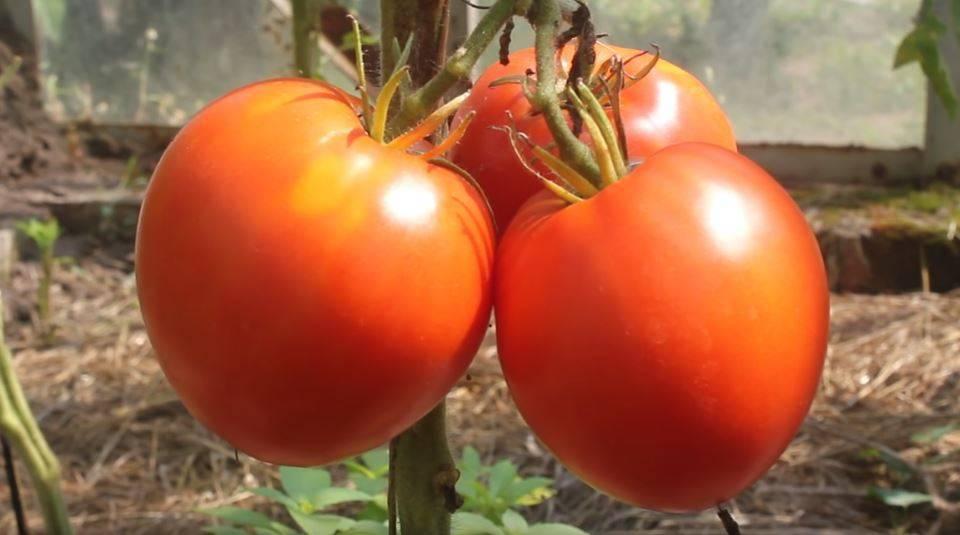 Томат чудо уолфорда: характеристика и описание сорта, урожайность с фото