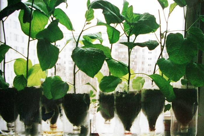Пошаговая инструкция как вырастить рассаду баклажанов