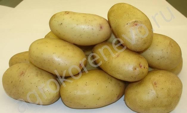 Сорт картофеля «великан»: характеристика, урожайность, отзывы и фото