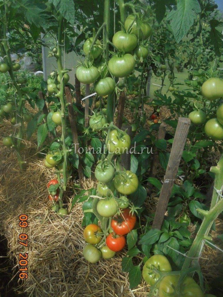 """Томат """"красная гроздь"""": описание сорта, фото и основные характеристики"""