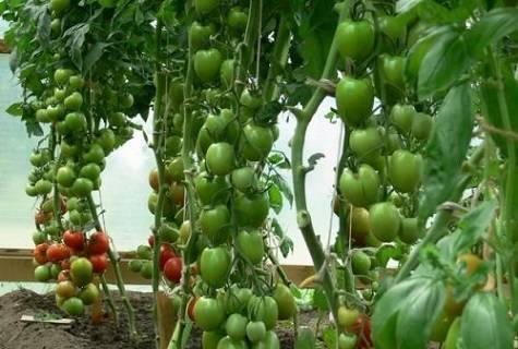 Урожайный томат лайф f1 — подробное описание сорта и достоинства, советы дачников по выращиванию