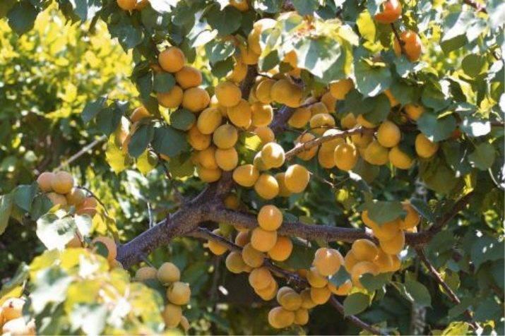 40 самых лучших сортов абрикоса