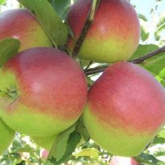 Яблоня башкирский красавец: рассматриваем суть