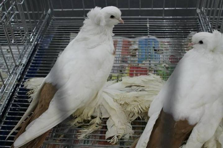 Иранские бойные голуби: описание, фото, разновидности, уход и содержание