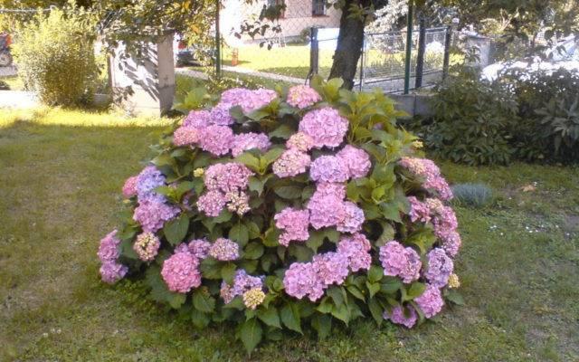Гортензия «лаймлайт» (37 фото): описание сорта гортензии метельчатой limelight, посадка и уход в открытом грунте, высота растения на штамбе, использование в ландшафтном дизайне