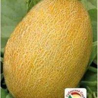 Сорт дыни колхозница: описание и выращивание в открытом грунте
