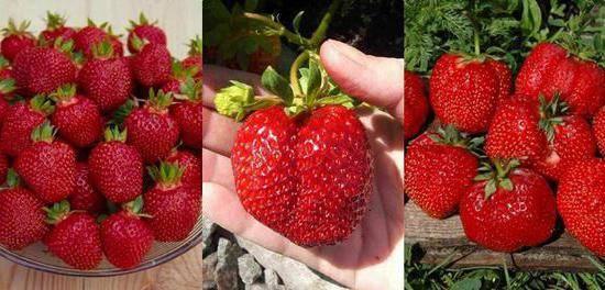 Садовая земляника машенька: советы по уходу и выращиванию