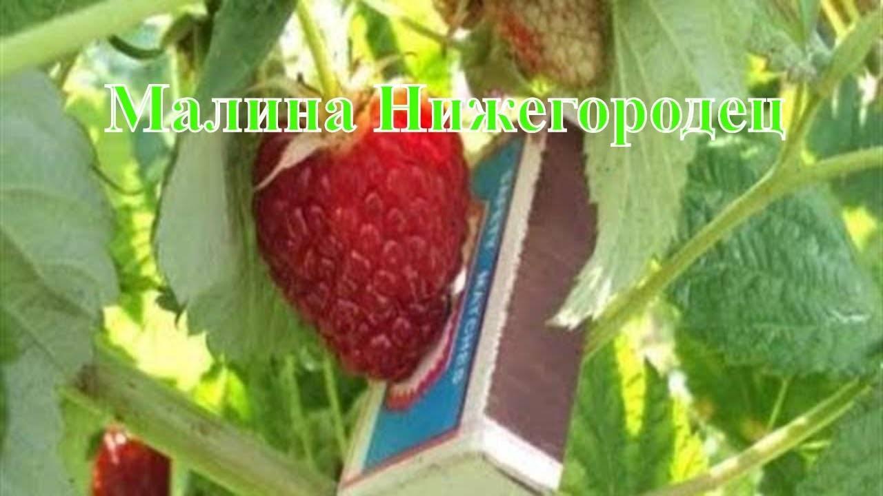 Лучшие сорта малины для нижегородской области