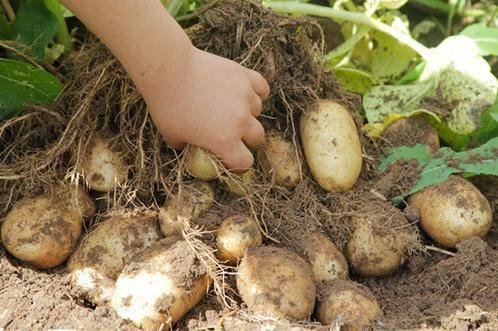 Картофель венди (wendy): описание сорта, фото, отзывы, вкусовые качества, посадка и уход