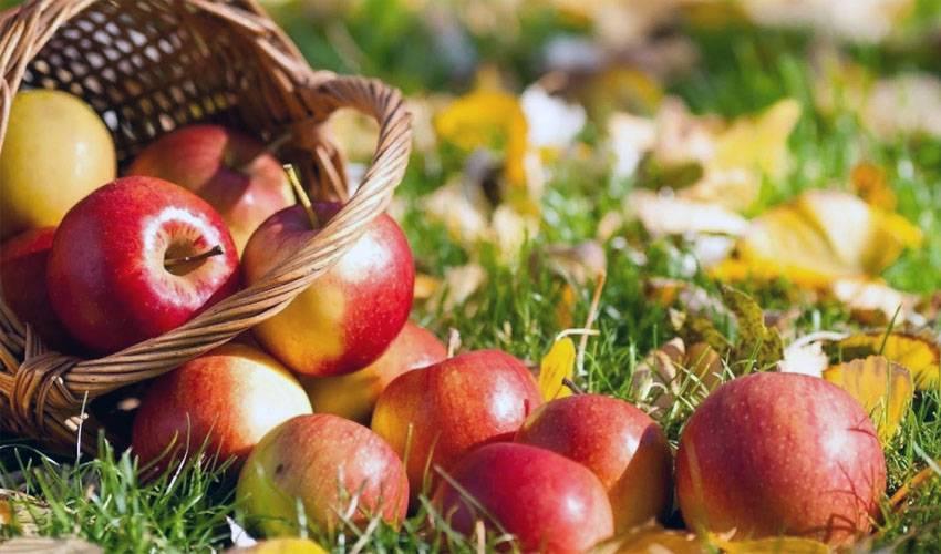 Как сохранить яблоки на зиму в домашних условиях?