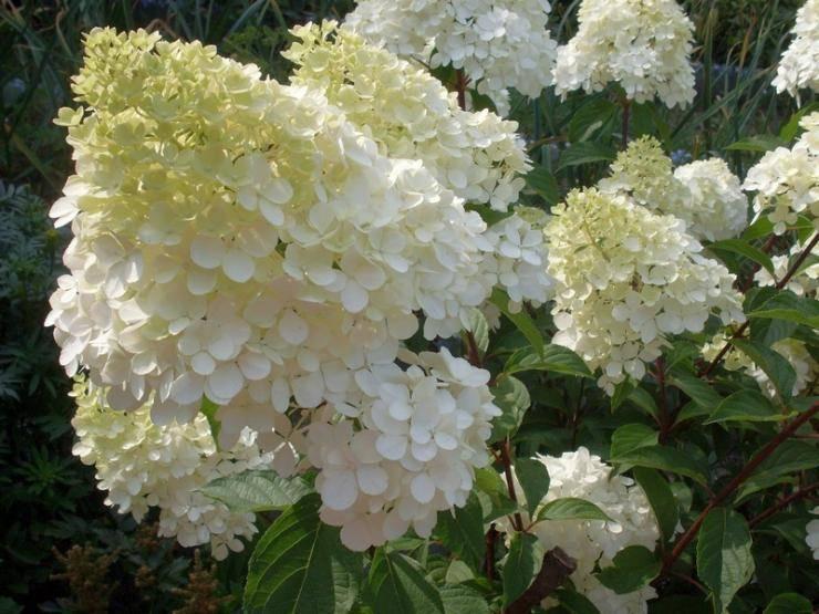 Описание и выращивание гортензии метельчатой пинк даймонд