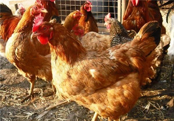 Порода кур фокси чик (27 фото): описание «венгерского великана», несушки и цыплята-бройлеры из венгрии, отзывы