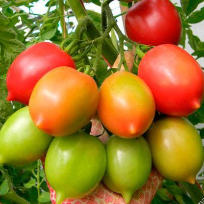 Сорт томата сызранская пипочка