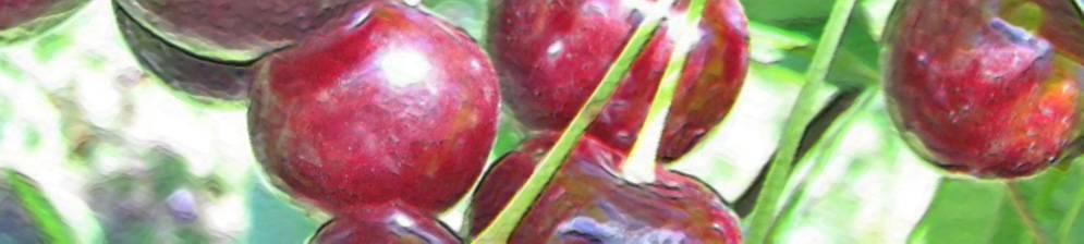 Вишня ворончихиной и другие самоплодные сорта
