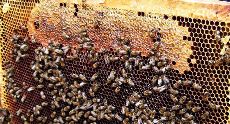 Как лечить пчел от нозематоза