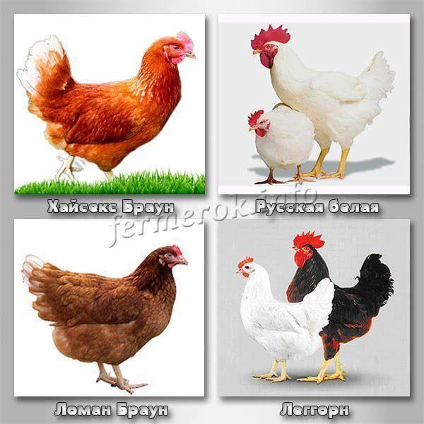 Популярные крупные породы кур