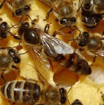 Пчела трутовка как исправить матку и семью