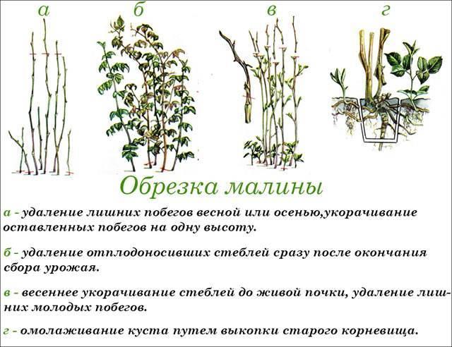 Подробное описание сорта малины глен ампл