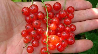 Смородина сладкая урожайная: красная, черная, белая