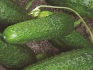 Огурцы шоша f1: описание, фото, отзывы, урожайность