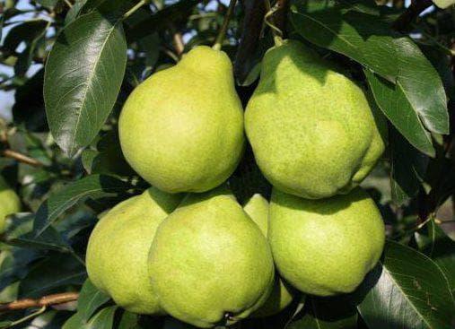 Сорт груши «августовская роса»