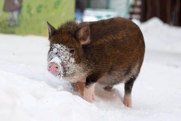 Температура у свиней: норма температуры у свиней, как её измерять