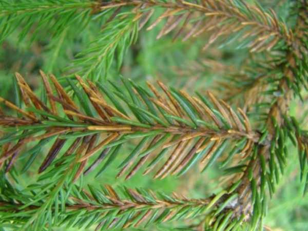 Ржавчина на хвойных растениях и побурение хвои — защита и профилактика