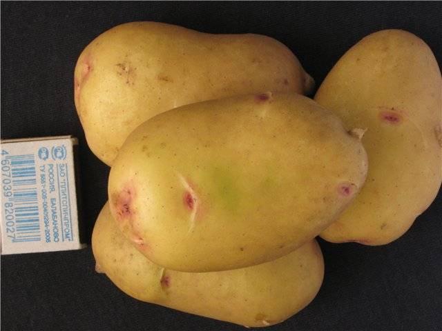 Голландский картофель сорта «агата»