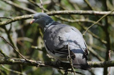 Лесной голубь вяхирь: как выглядит, где живёт, что ест