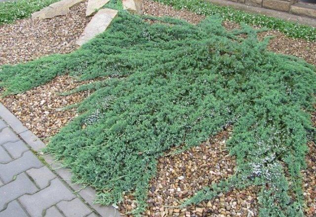 Можжевельник горизонтальный агнешка (juniperus horizontalis agniaszka)