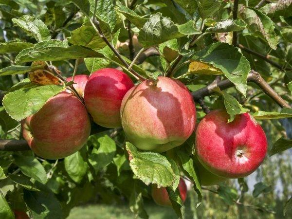 Жигулёвское — испытанный временем поздний сорт яблок
