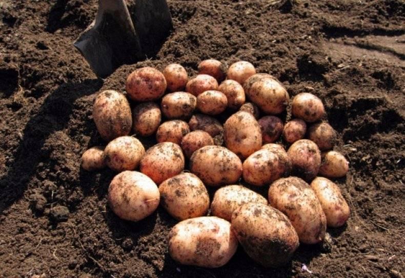 Картофель журавинка: 8 особенностей и 10 советов по выращиванию и хранению