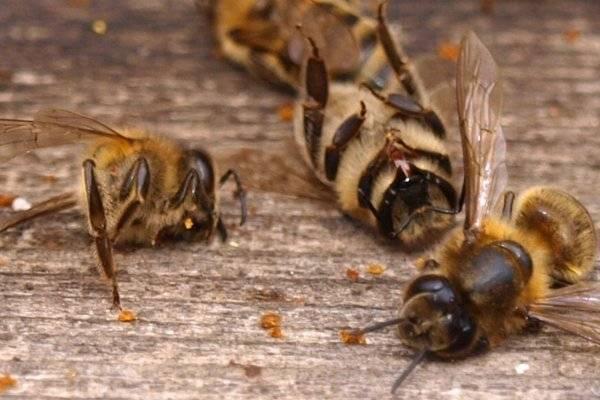 Симптомы и лечение акарапидоза пчел