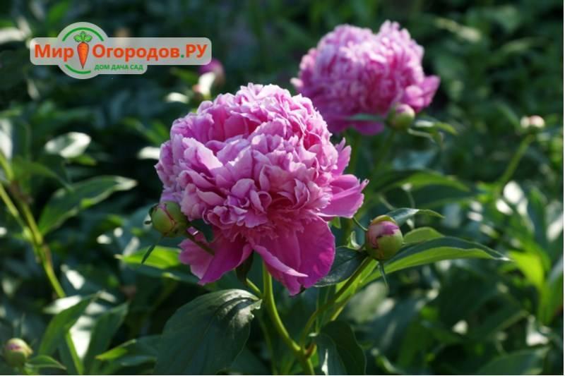 Подкормки пионов весной, летом и осенью
