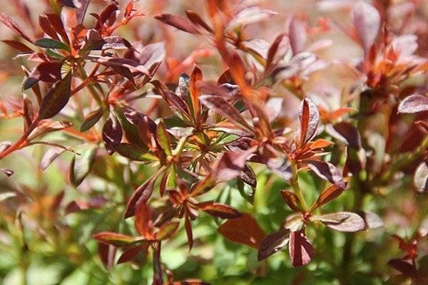 Лечебные свойства листьев барбариса