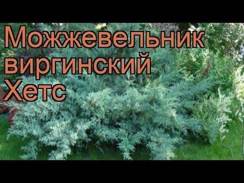 Можжевельник казацкий: фото и описание