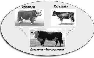 Характеристики казахской белоголовой породы коров