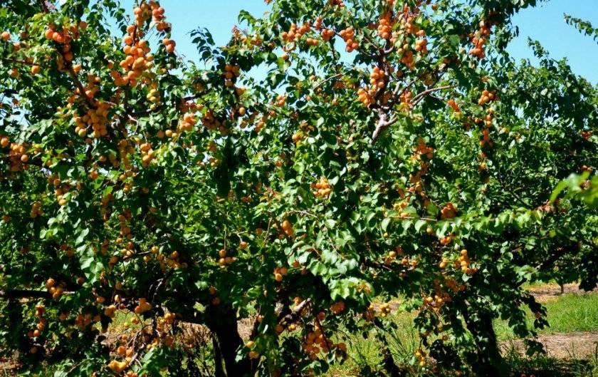 Абрикос саратовский рубин — описание сорта и отзывы с фото