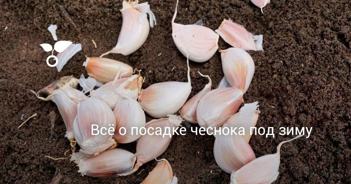 Очищенный чеснок: как хранить в разных условиях