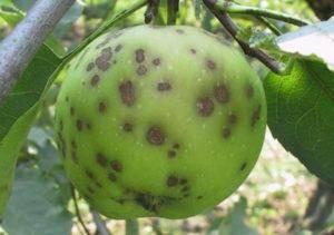 Яблоня коваленковское: описание сорта, фото, отзывы, посадка и уход