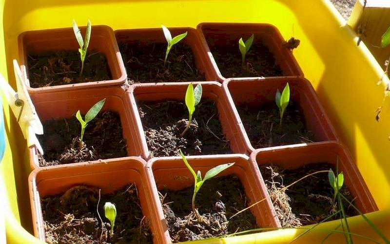 Посев баклажанов на рассаду по лунному календарю