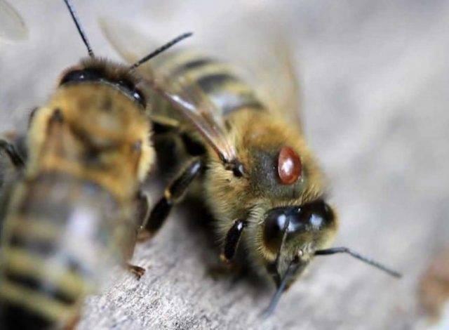 Лозеваль — инструкция по применению для пчел